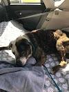 Una familia rescata a un perro que tenía poco tiempo de vida y le demuestra lo que es ser amado