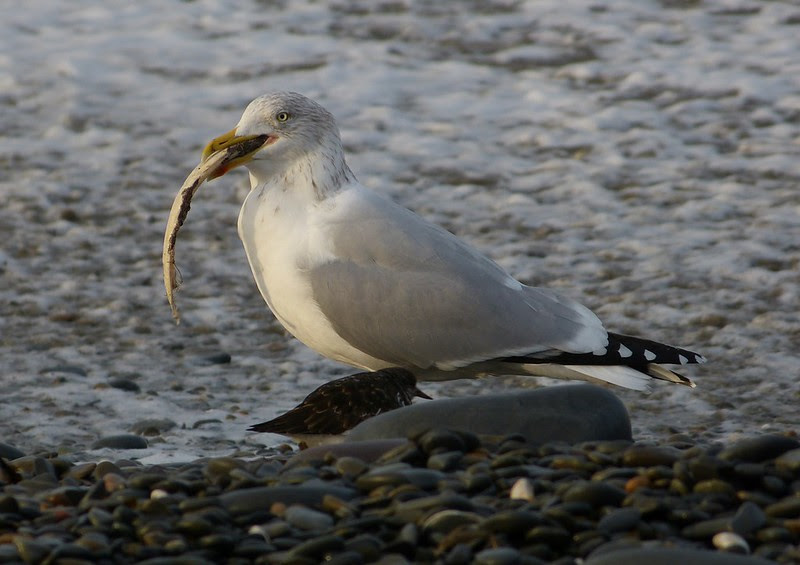 29177 - Herring Gull and fish, Aberystwyth