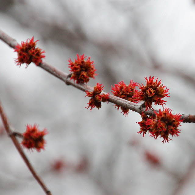 Maple Blossoms