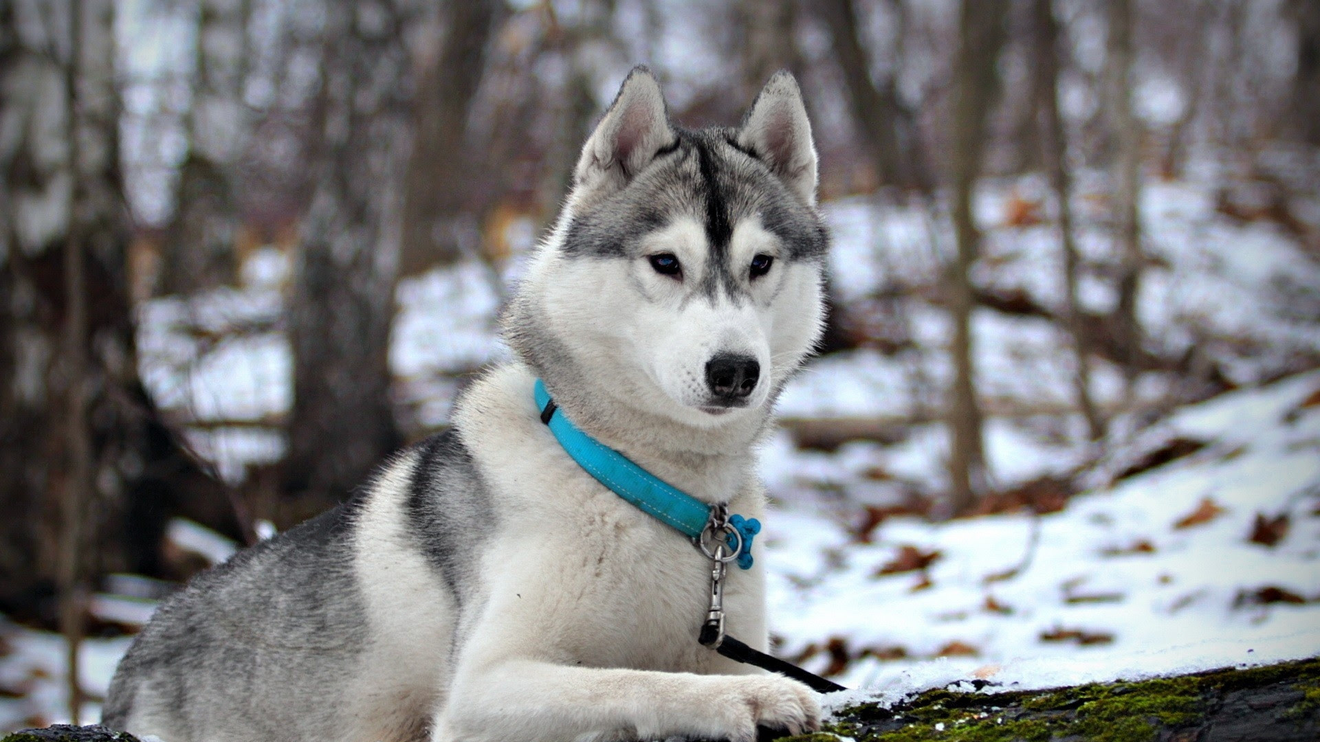 Siberian Huskies Wallpapers (86+ images)