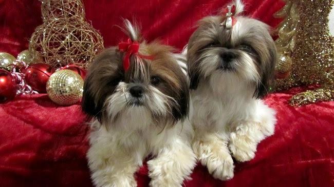 shih tzu cães bonitos