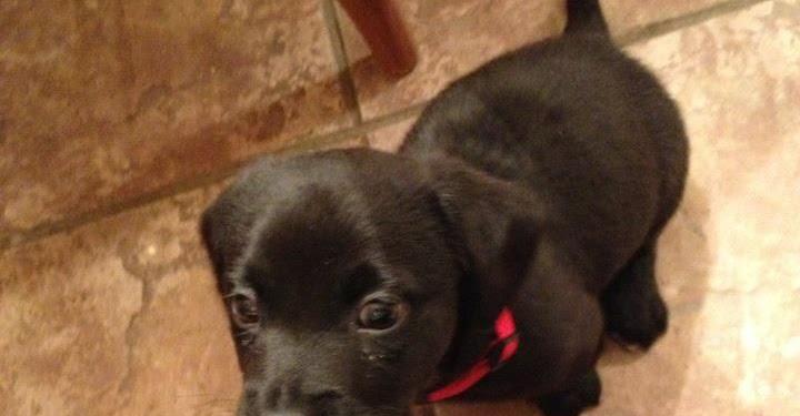 Jack Russell Black Lab Mix Puppies