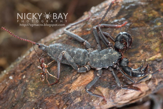 Whip Scorpion (Thelyphonida) - DSC_4182