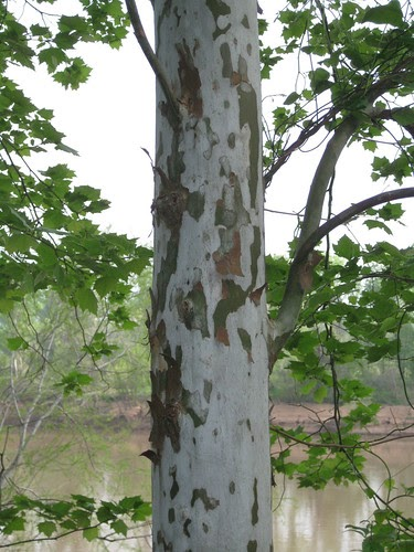 Foraging Texas Sycamore Tree