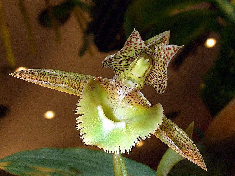 File:Catasetum fimbriatum Orchi 05.jpg
