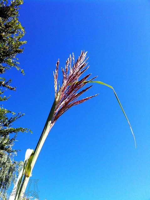 IMG_0874 Plume Grass