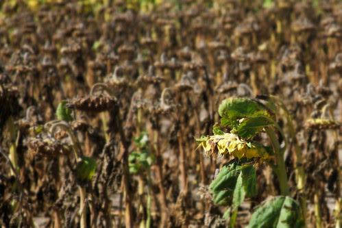 Sunflower - Edit
