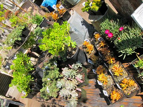 Sedums, crassula and succulents