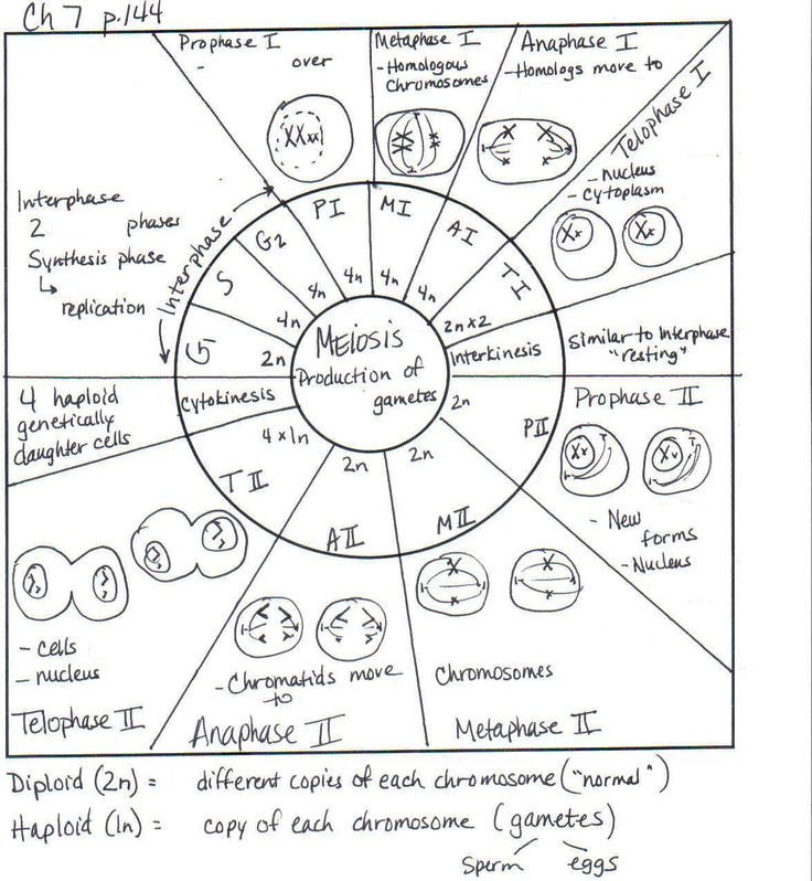 Top Cell Cycle Coloring Worksheet Answer Key Pdf - hd ...