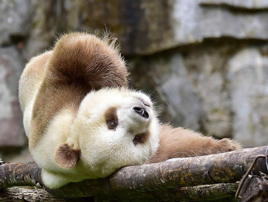 abandonou-brown-panda-qizai-13