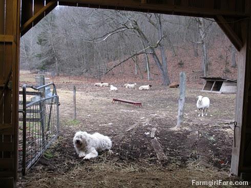 Lambing season begins! (8) - FarmgirlFare.com