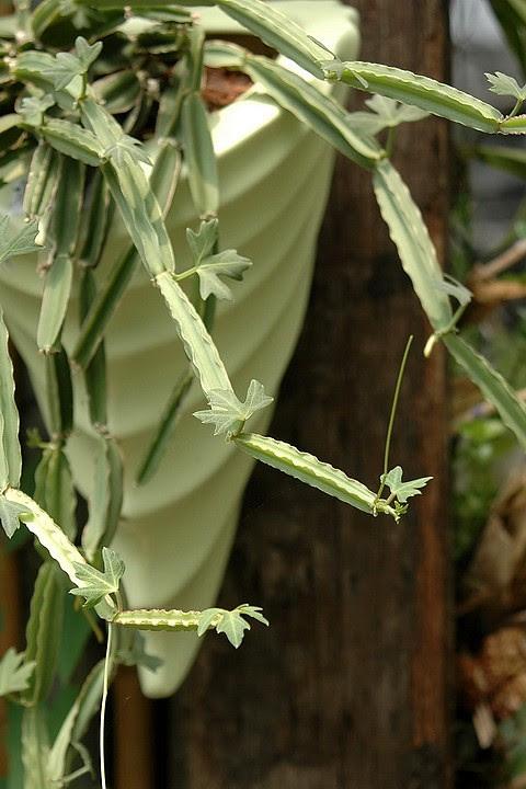 Veldt Grape Cissus Quadrangularis: 愛花人集合!: 多肉植物手記57~翡翠閣