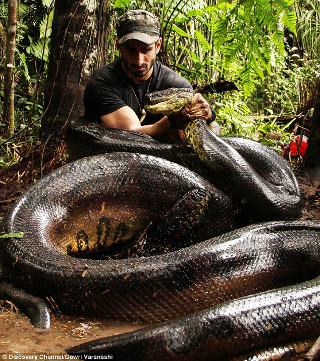 Predator and prey: Mr Rosolie's bid to be eaten - and rescued before perishing - took filmmakers two years to prepare. Above, the daredevil poses with the anaconda in a publicity shot before the documentary was aired