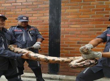 Senhor do Bonfim: Cobra de 3 metros entra em casa e é capturada por Bombeiros