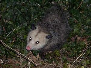 Photograph of the common opossum