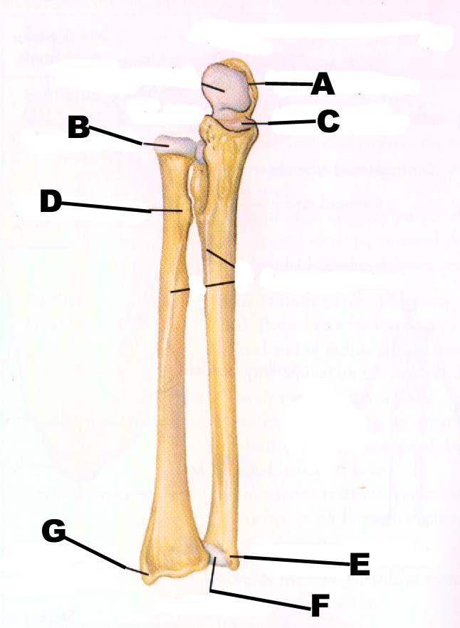 35 Ulna And Radius Diagram