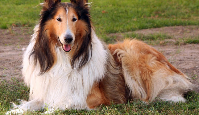 Rough Collie Dog Price