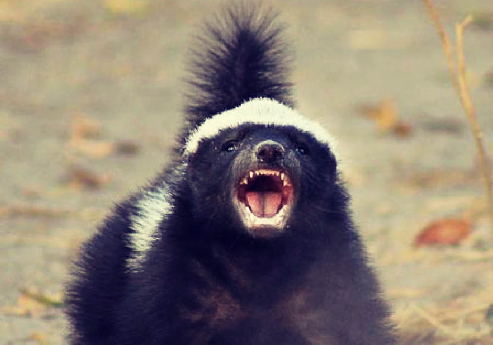 What Does Honey Badger Mean Memes By Dictionarycom