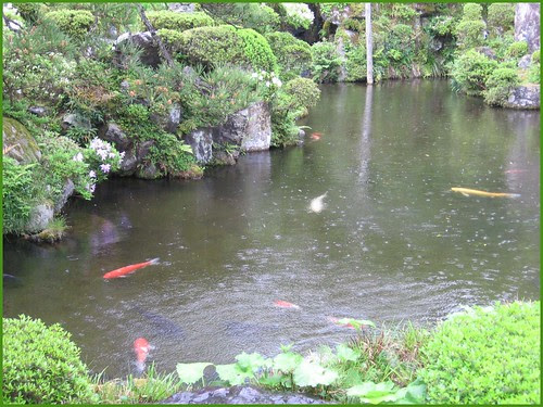 Chizu 11 goldfish in the rainy pond