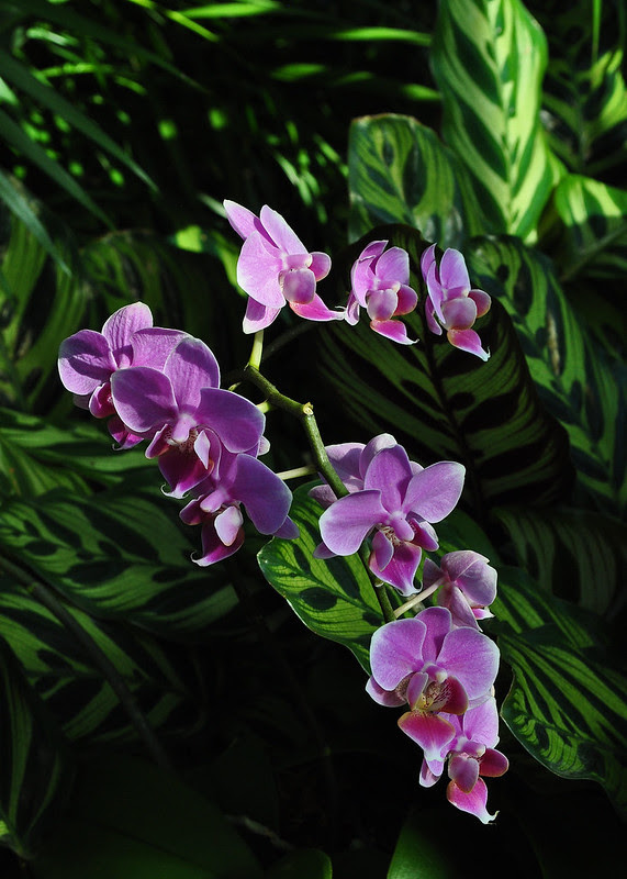 Phalaenopsis Beauty Shenna 'Rin Rin'