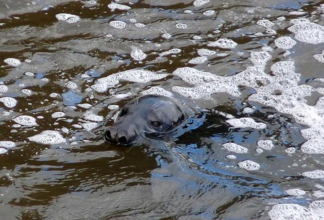 24893 - Seal, Swansea Barrage