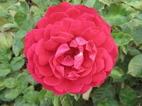 Rose Ascot Foto Brandt