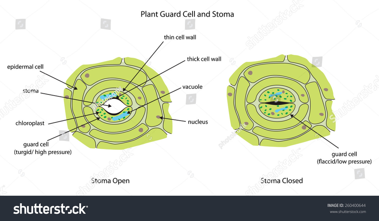 Labeled Diagram Showing Plant Stoma Open And Closed. Stock ...