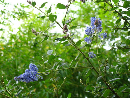 Ceanothus arboreus 'Ray Hartman'