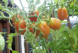 Tomatoes_72712