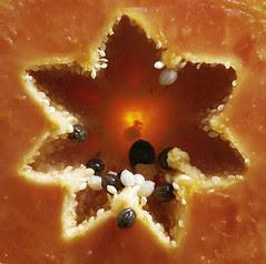 _JJ60203 star papaia por Joel Jordani
