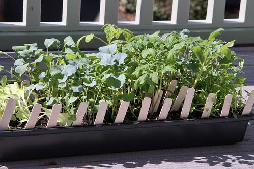 seedlings 071