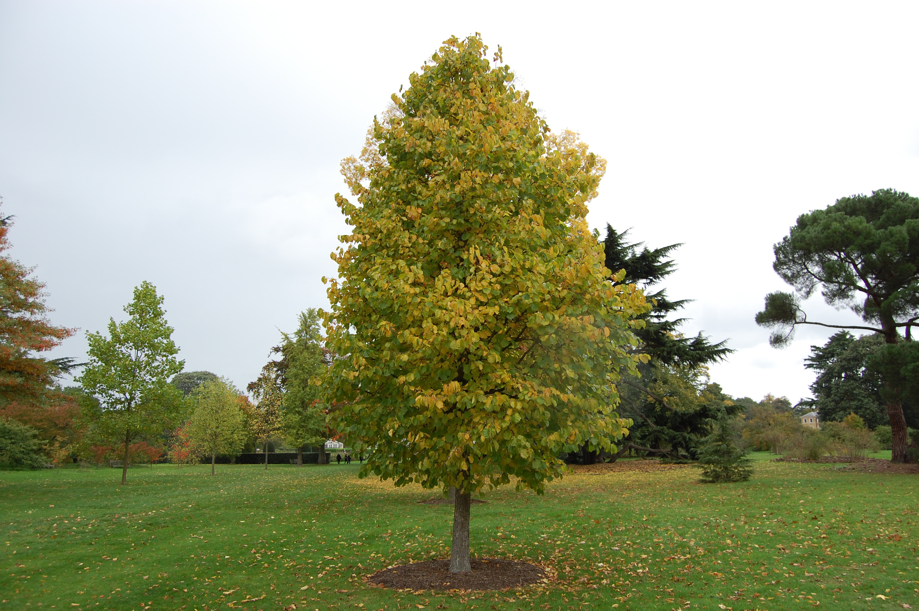 corylus colurna autumn