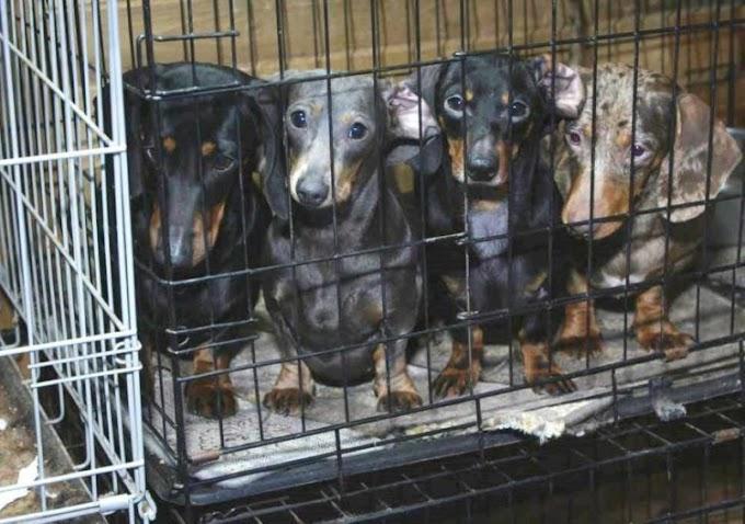 Autoridades logran rescatar a 101 perritos salchicha atrapados en una red de venta ilegal