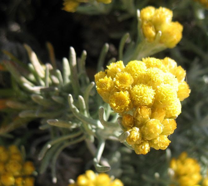Helichrysum stoechas (L.) Moench., Perpetua, Siempreviva amarilla, Elicriso