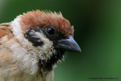 Portrait of Sparrow Passer Montanus