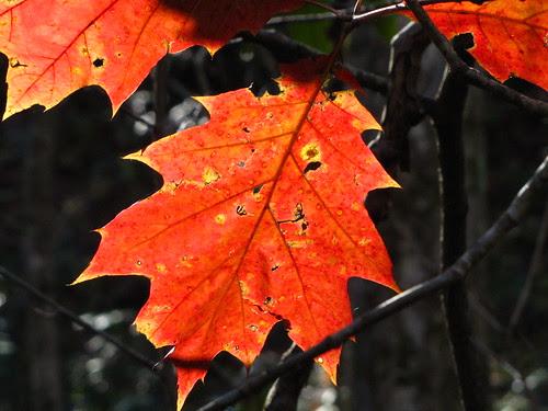 IMG_6761_Orange_Leaf_Along_Little_River_Trail