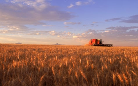 Wheat Harvest - MT: aerials of wheat fields with grain combines at work