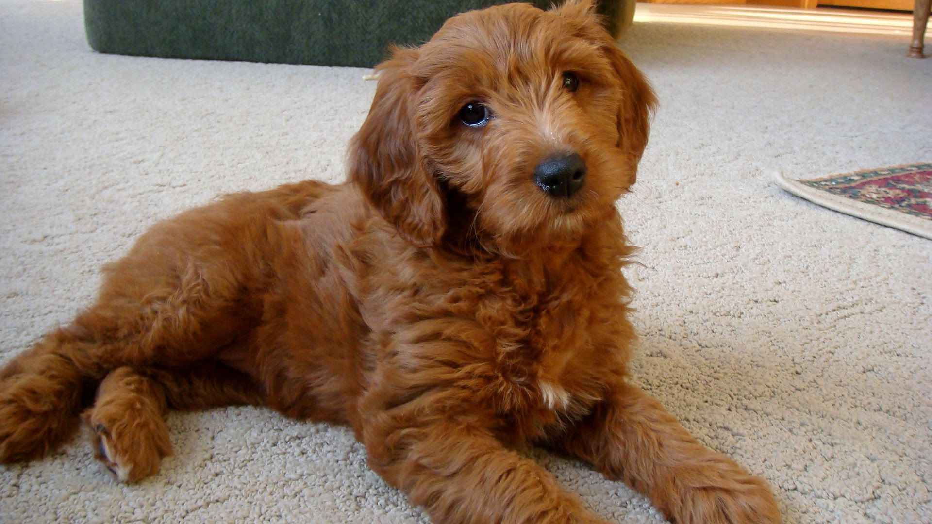 About Goldendoodles Aussiedoodle and Labradoodle Puppies  Best Labradoodle Breeders in
