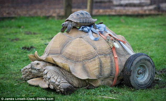 Bert, the African spurred tortoise, now travels around with the help of heavy duty wheels