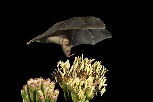 long-nosed bat, Arizona, pollen eating