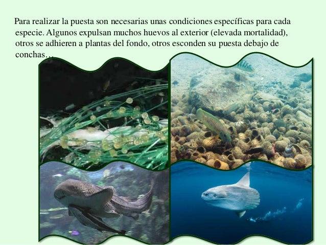 Resultado de imagen de los peces desoven después de enterrar la mitad de sus cuerpos en la arena.