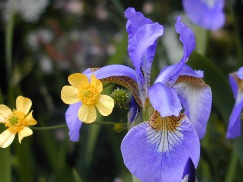 Wkd 01 World Kigo Database Wkd Iris Ayame