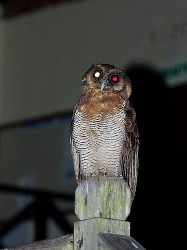 brown wood owl Strix leptogrammica IMG_7003 copy