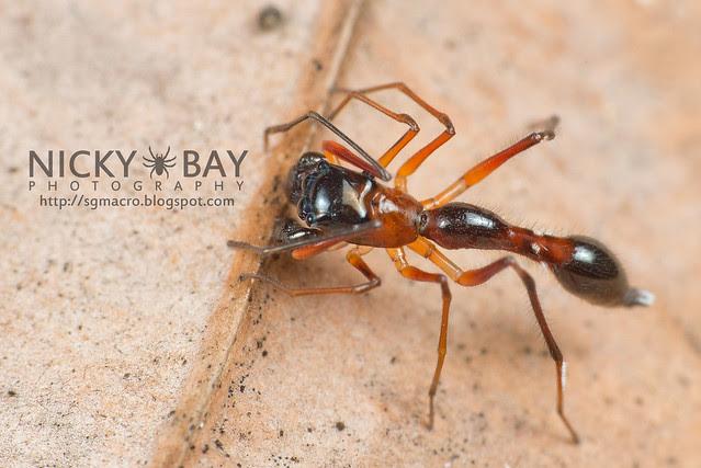 Kerrengga Ant-Like Jumper (Myrmarachne plataleoides) - DSC_8510