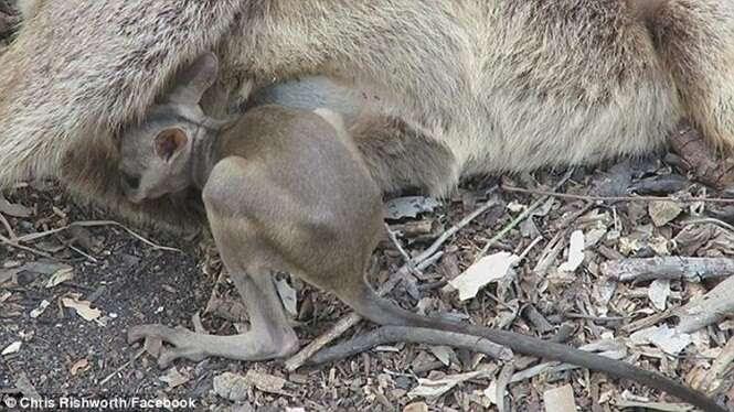 Vídeo comovente mostra momento em que filhote de canguru tenta mamar em sua mãe morta