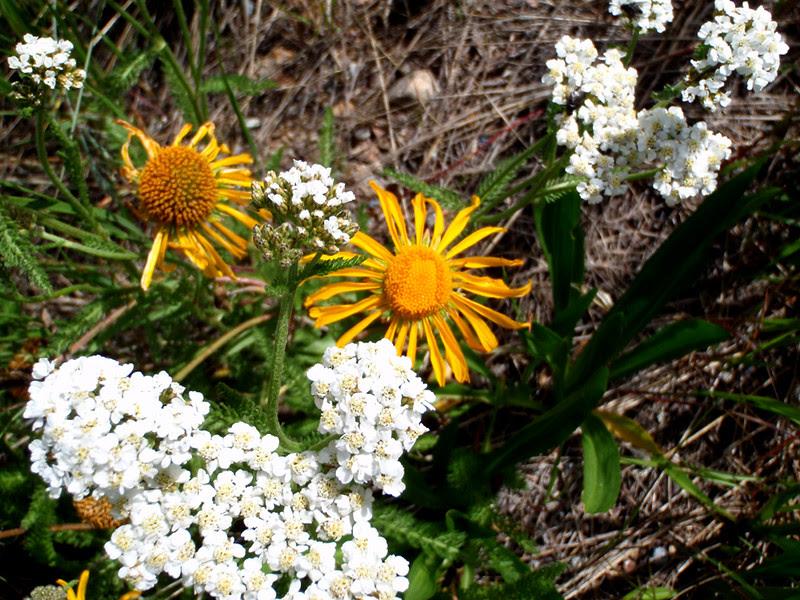 Alpine Yarrow and Orange Sneezeweed