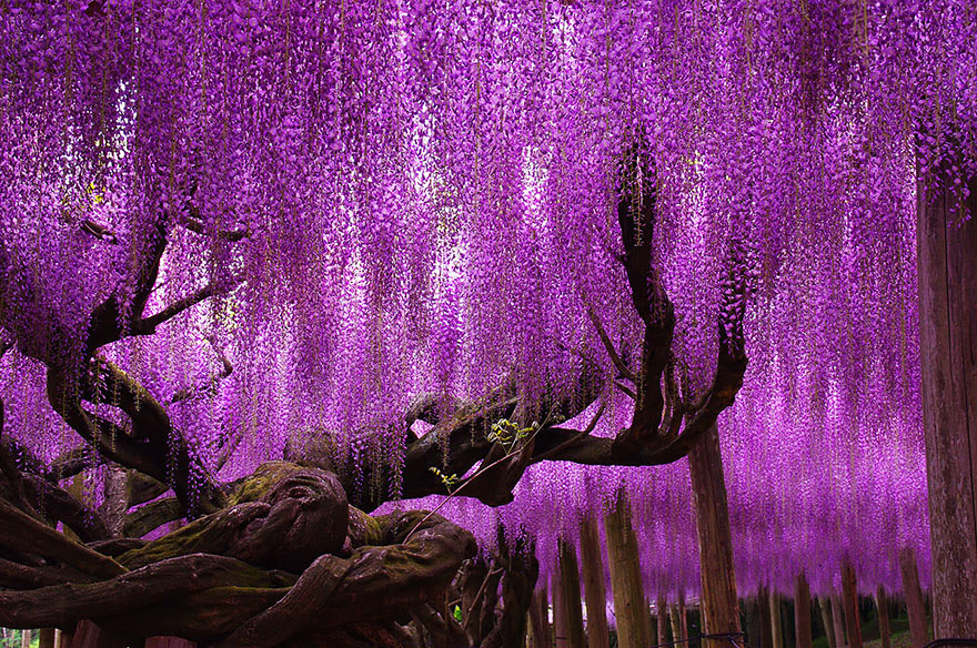 144-year-old wisteria in Japan, by tungnam.com.hk