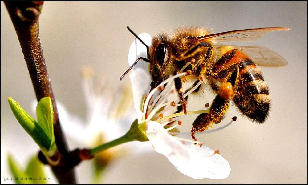 Nouvelle bataille pour les abeilles