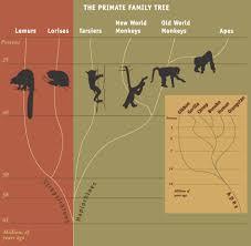 Семејното стебло на приматите
