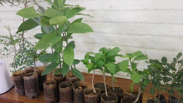 Tree seedlings at a nursery in Zambia, where charcoal production is worsening deforestation. Credit: Friday Phiri/IPS